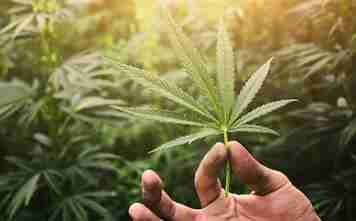 Hemp and cannabis: what's the difference?